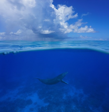 Above and below sea surface, a humpback whale underwater with cloudy blue sky split by waterline, Pacific ocean, Rurutu island, Austral archipelago, French Polynesia Stock fotó