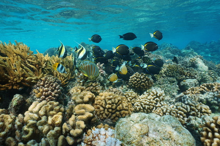 Underwater coral reef with shoal of colorful tropical fish in shallow water, Rangiroa lagoon, natural scene, Pacific ocean, French Polynesia