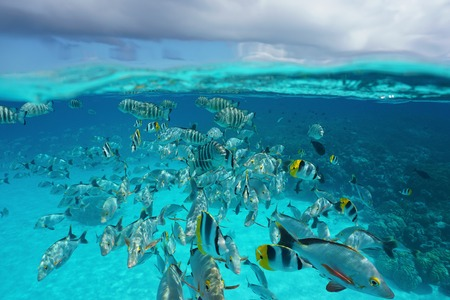 school of fish: Above and below sea surface, shoal of tropical fish underwater with cloudy sky, natural scene, lagoon of Rangiroa, Tuamotu, Pacific ocean, French Polynesia Stock Photo