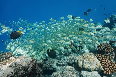 ocean floor: School of tropical fish convict tang, Acanthurus triostegus, underwater, feeding on the ocean floor, Pacific ocean, atoll of Rangiroa, Tuamotu, French Polynesia Stock Photo
