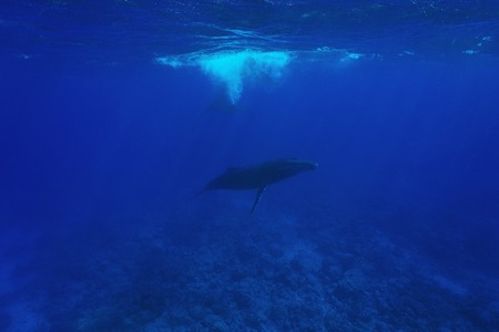 pacific ocean: Megaptera novaeangliae Humpback whale underwater in the Pacific ocean, Austral islands, Rurutu, French Polynesia