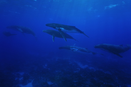 Group of humpback whales, Megaptera novaeangliae, underwater in the Pacific ocean, Rurutu island, Austral archipelago, French Polynesia Stok Fotoğraf