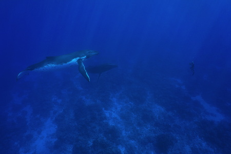 megaptera novaeangliae: Two humpback whale underwater, Megaptera novaeangliae, with one man in apnea in front of them, Pacific ocean, Rurutu island, Austral archipelago, French Polynesia