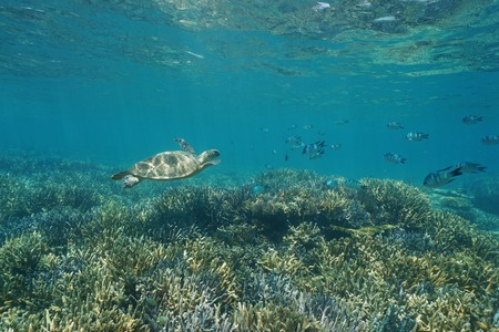 south pacific ocean: Underwater coral reef with a green sea turtle and fish, New Caledonia, south Pacific ocean