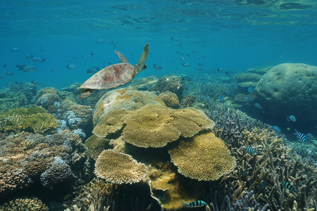 south pacific ocean: Shallow coral reef underwater with a green sea turtle and fish, New Caledonia, south Pacific ocean