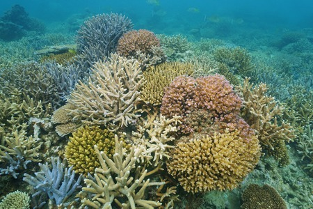 pristine corals: Colorful stony corals underwater in a lagoon of New Caledonia, south Pacific ocean Stock Photo