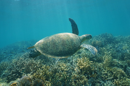 south pacific ocean: Underwater green sea turtle, Chelonia mydas, swimming over a coral reef, New Caledonia, south Pacific ocean Stock Photo