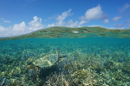 south pacific ocean: Above and below water, a hawksbill sea turtle over a shallow coral reef underwater and blue sky with clouds split by waterline, New Caledonia, south Pacific ocean