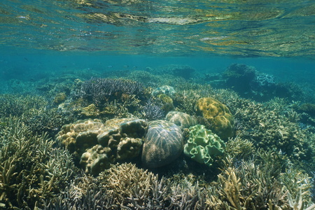 pristine corals: Shallow reef with healthy corals underwater in a lagoon of New Caledonia, south Pacific ocean