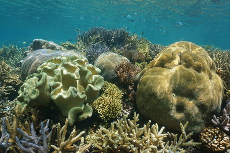 pristine corals: Coral reef diversity with soft and hard corals underwater, New Caledonia, south Pacific ocean