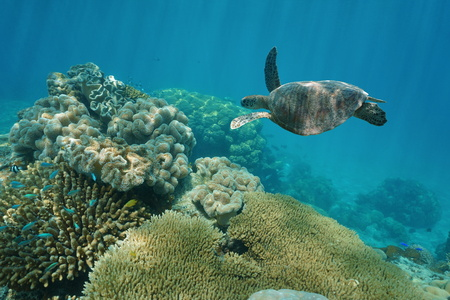 south pacific ocean: A green sea turtle underwater with corals, New Caledonia, south Pacific ocean