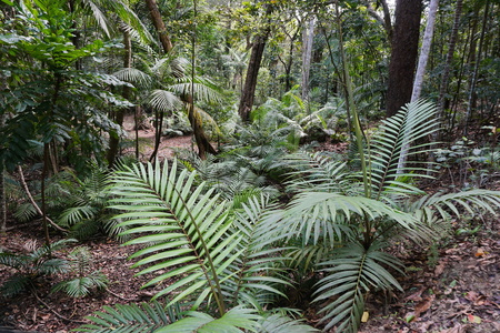 tropical plants: Palm trees growing in a forest of New Caledonia, Grande Terre island, south Pacific