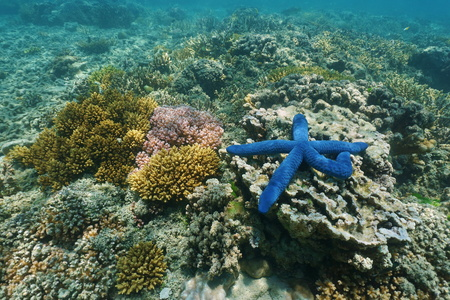 south pacific ocean: Underwater marine life colors, a blue Linckia sea star with corals, south Pacific ocean, New Caledonia