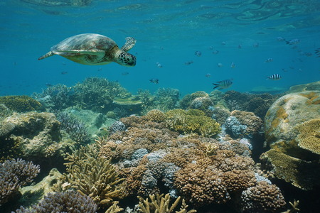 south pacific ocean: A green sea turtle underwater on a shallow coral reef with fish, New Caledonia, south Pacific ocean Stock Photo