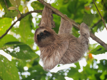 Cute sloth, Bradypus variegatus, hanging from a branch in the forest, wild animal, Panama, Central America