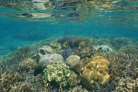 pristine corals: Corals underwater on a shallow reef, New Caledonia, south Pacific ocean