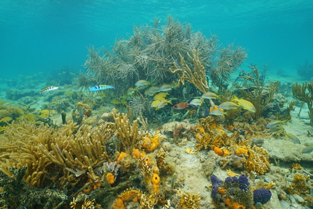Marine life underwater Caribbean sea with soft corals and tropical fish, Central America, Panama