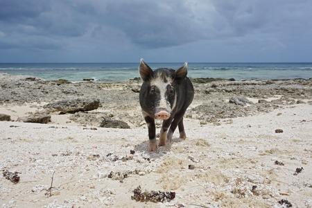jabali: Cerdo salvaje en una playa con el mar de fondo, la isla de Huahine, Polinesia Francesa, Pacífico Sur Foto de archivo
