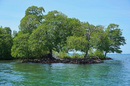 Mangrove trees in the water, Rhizophora mangle, Caribbean sea, archipelago of Bocas del Toro, Panama, Central America