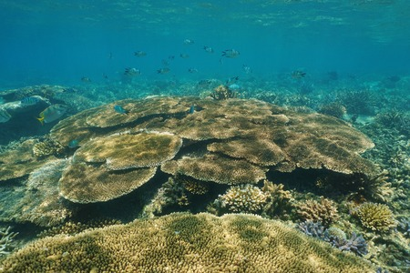 pristine corals: Reef underwater with table coral and sergeant fish, New Caledonia, south Pacific ocean