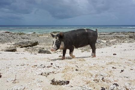 jabali: Cerdo salvaje en una playa de arena y rocas, isla de Huahine, Océano Pacífico Sur