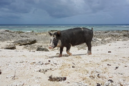 south pacific ocean: Wild pig on a beach with sand and rocks, Huahine island, French Polynesia, south Pacific ocean Stock Photo