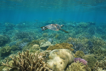 south pacific ocean: Underwater coral reef with a green sea turtle, south Pacific ocean, New Caledonia