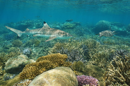 south pacific ocean: Underwater coral reef with a blacktip reef shark and a green sea turtle, south Pacific ocean, New Caledonia