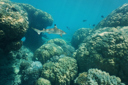 south pacific ocean: Massive stony corals underwater with a blacktip reef shark, south Pacific ocean, New Caledonia