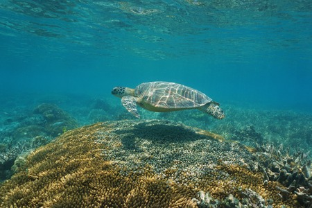 south pacific ocean: A green sea turtle with coral under the sea, south Pacific ocean, New Caledonia