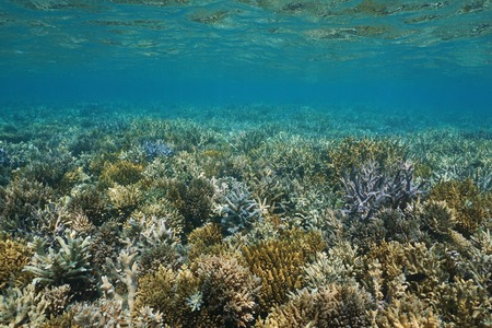 south pacific ocean: Underwater seascape, shallow seabed covered by branching corals in good condition, south Pacific ocean, New Caledonia Stock Photo