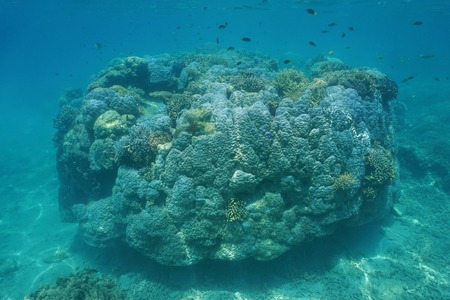 south pacific ocean: Massive coral pinnacle underwater in the lagoon of Grand Terre island, south Pacific ocean, New Caledonia