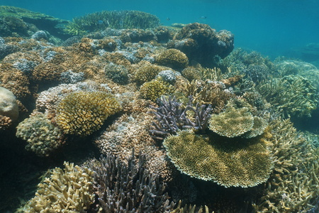 pristine corals: Soft and hard corals underwater on a reef in the lagoon of Grande Terre island, south Pacific ocean, New Caledonia Stock Photo