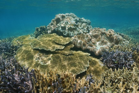 stony corals: Staghorn and table hard corals with toadstool soft coral underwater on a shallow reef in the lagoon of Grande Terre island, south Pacific ocean, New Caledonia Stock Photo