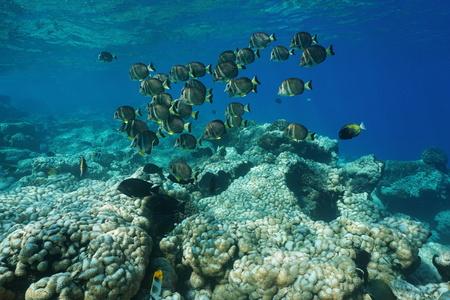 Underwater life a school of fish whitespotted surgeonfish, Acanthurus guttatus, over a coral reef, Rangiroa, Tuamotu, Pacific ocean, French Polynesia Stock Photo