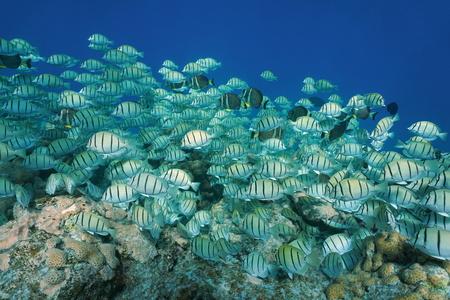 Tropical fish school convict surgeonfish, Acanthurus triostegus, underwater Pacific ocean, Rangiroa, Tuamotu, French Polynesia