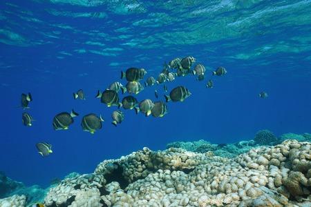 Underwater Pacific ocean shoal of fish whitespotted surgeonfish, Acanthurus guttatus, over a coral reef, Rangiroa, Tuamotu, French Polynesia
