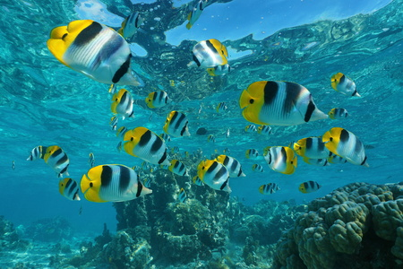 Shoal of tropical fish underwater, Pacific double-saddle butterflyfish, Chaetodon ulietensis, Pacific ocean, French Polynesia Archivio Fotografico
