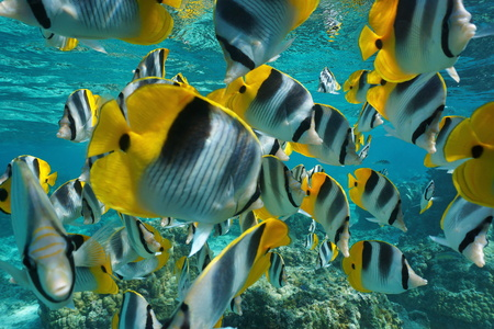 Tropical fish shoal of colorful Pacific double-saddle butterflyfish, Chaetodon ulietensis, underwater close to the camera, Pacific ocean, French Polynesia Stock Photo