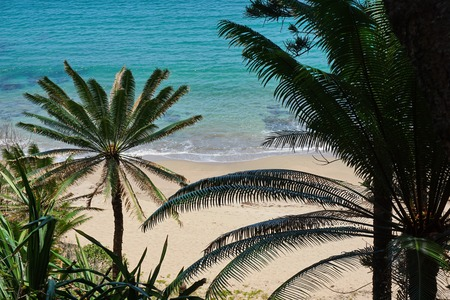 cycadaceae: Foliage of Cycas trees with sandy beach shore in background, Bourail, Grande Terre island, New Caledonia, south Pacific
