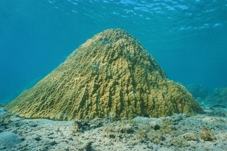 stony coral: Lobe coral Porites lobata on the ocean floor, lagoon of Tahiti, Pacific ocean, French Polynesia