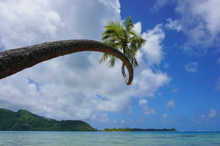 motu: Twisted coconut palm tree leaning over the sea, Huahine island, Pacific ocean, French Polynesia, Oceania Stock Photo