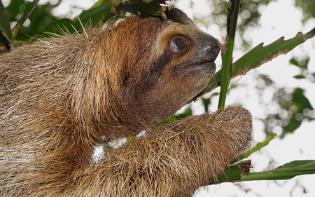 toed: Brown throated three toed sloth head profile, wild animal in the jungle, Costa Rica, Central America Stock Photo