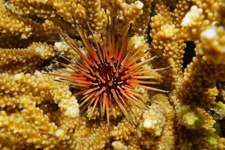Echinometra viridis reef urchin over coral underwater in the Caribbean sea