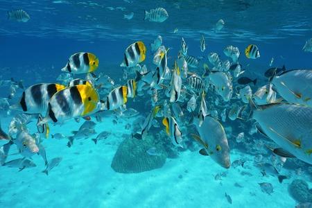 damselfish: Shoal of fish (butterflyfish with snapper and damselfish) underwater in the lagoon of Rangiroa, French Polynesia, Tuamotu, Pacific ocean