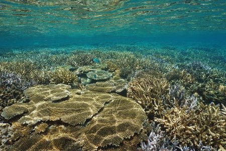 pristine coral reef: Underwater coral reef in good condition in the south Pacific ocean, lagoon of Grande Terre, New Caledonia