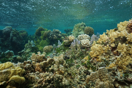 stony coral: Shallow coral reef underwater with rain falling on the water surface, south Pacific ocean, French Polynesia, Lagoon of Bora Bora