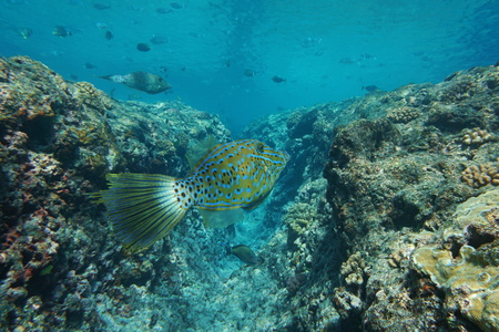 commonly: Colorful tropical fish Aluterus scriptus, commonly known as scrawled filefish, broomtail filefish or scribbled leatherjacket, underwater Pacific ocean, French Polynesia
