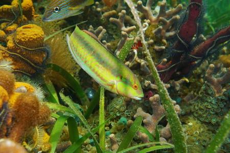 Tropical fish a slippery dick wrasse, Halichoeres bivittatus, underwater  in the Caribbean sea