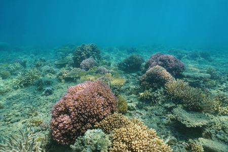 hard coral: Underwater South Pacific ocean floor with colorful corals, New Caledonia, Oceania